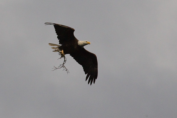 Bald Eagles - Valdez