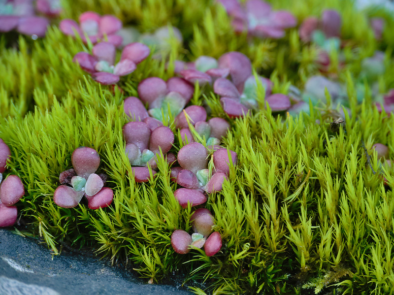 Stone Crop and Moss