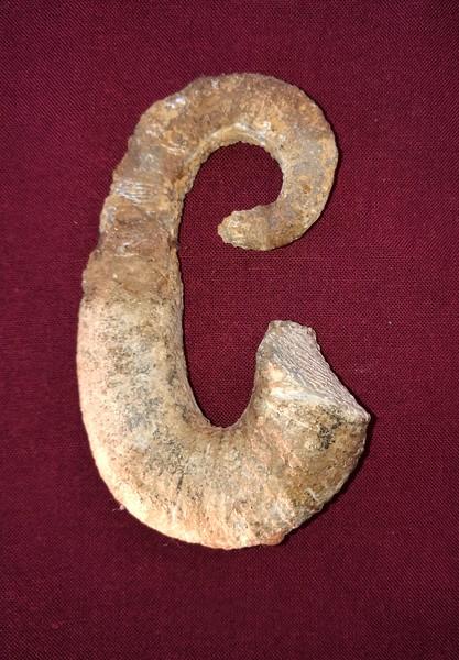#8125 Acrioceras tabarelli Heteromorph Ammonite