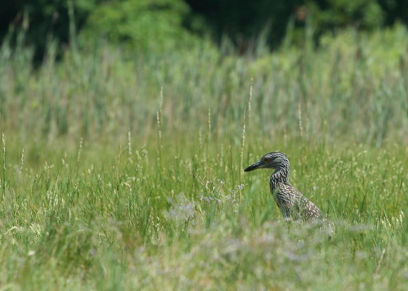 Kayaking in Mattituck Creek.  Juvenile heron.