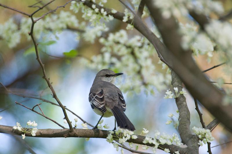Mockingbird D6148