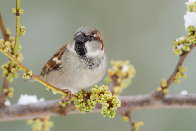 Sparrows-Old World (Passeridae)