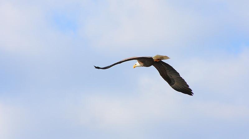 Eagle at Lake Mahopac NY!!  WOW!