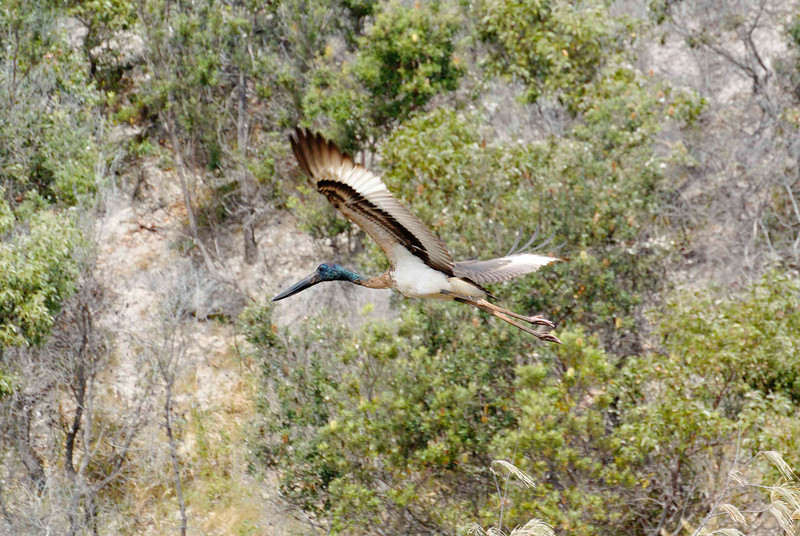 An iterant jabiru spending time on Fraser Island.