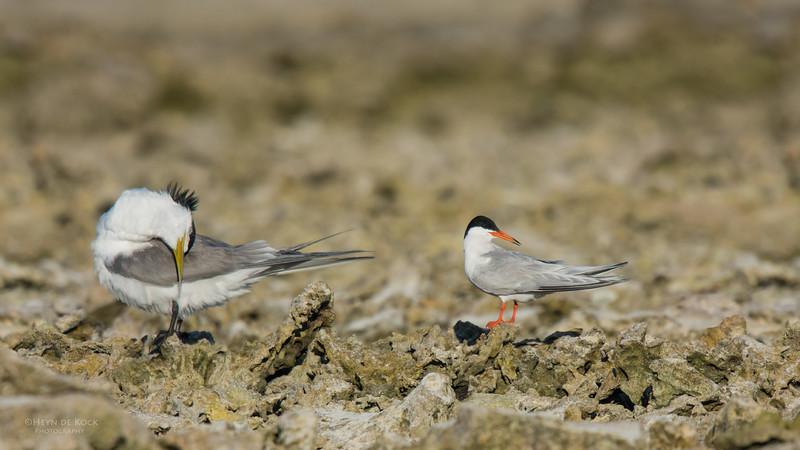 Roseate & Crested Tern, Lady Elliot Island, QLD, Dec 2015-1.jpg