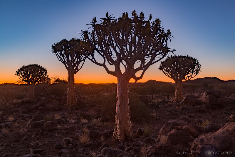 Quiver Tree forest near Keetmanshoop, Namibia.