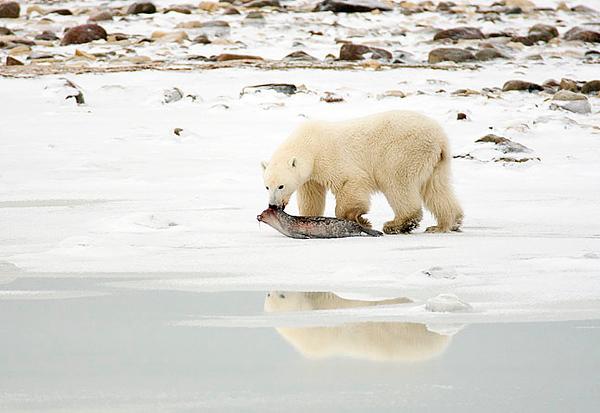 Polar bear with ringed seal