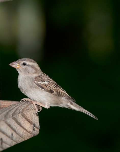 House Sparrow [Female] (Passer domesticus)