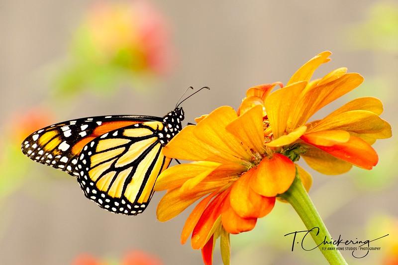 Butterfly 10-1505696715588.jpg