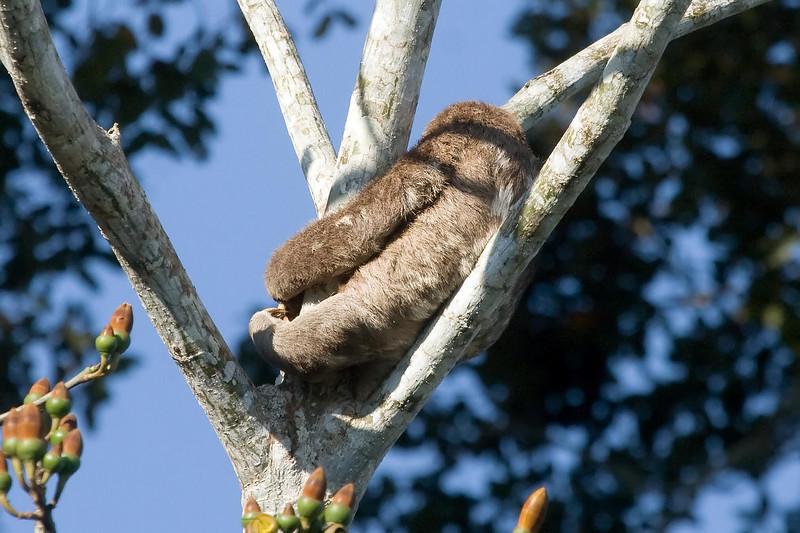 Brown-throated Three-toed Sloth (1) at Cocha Blanco near Manu Wildlife Center, Peru (2008-07-10).psd