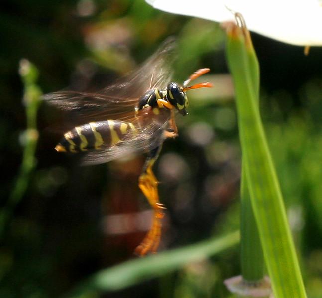 2392 Flying Wasp.jpg