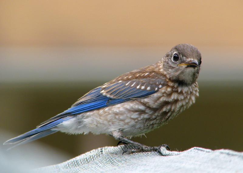 bluebird_fledgling_1419.jpg