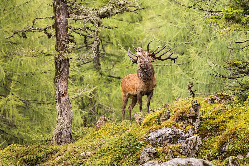 Hirsch in der Hirschbrunft.jpg
