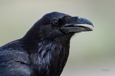 Northern Raven (Corvus corax)