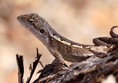 Diporiphora nobbi (Nobbi dragon)