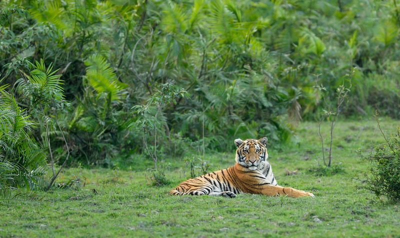 Tiger-Kaziranga-resting-1.jpg