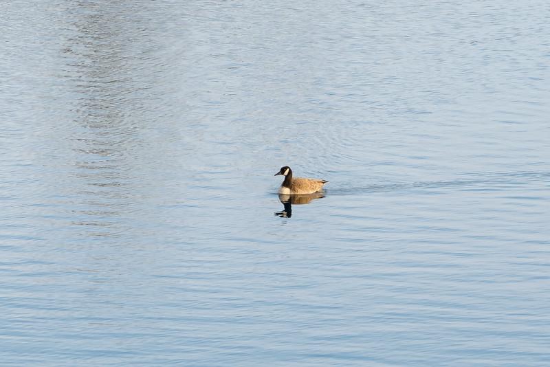 Geese 3-7991.jpg