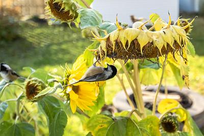 2020-10 Chickadees and Sunflowers