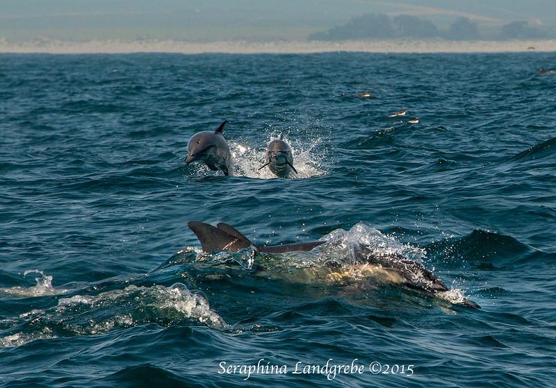 _DSC8919Jumping torpedo Dolphins .jpg