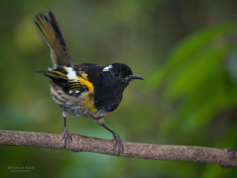 Stitchbird, Tiritiri Matangi, NZ, March 2015-1.jpg