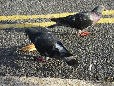 Pigeon Feeding Frenzy Town Quay