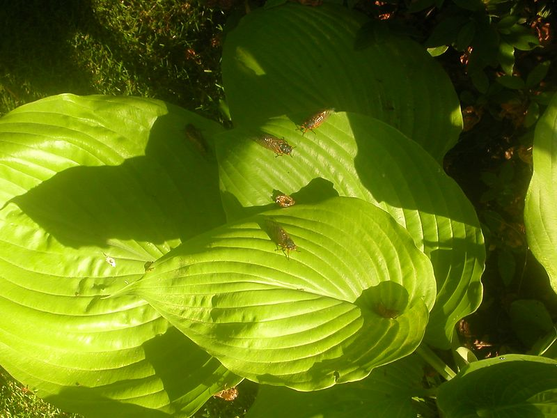 On the hosta.