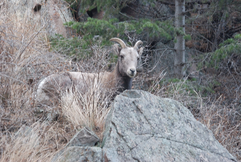 Bighorn Sheep 12062008 107.jpg