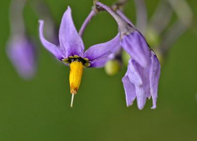 Bittersweet Nightshade (Solanum dulcamara, Wood Nightshade)