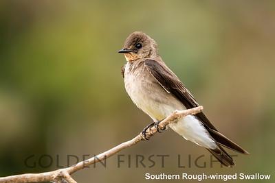 Southern Rough-winged Swallow, Pantanal, Brazil