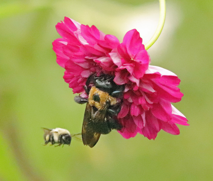Bee in flight 11