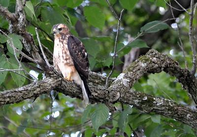 Red-shouldered Hawk Juvenile - Cuivre River Park