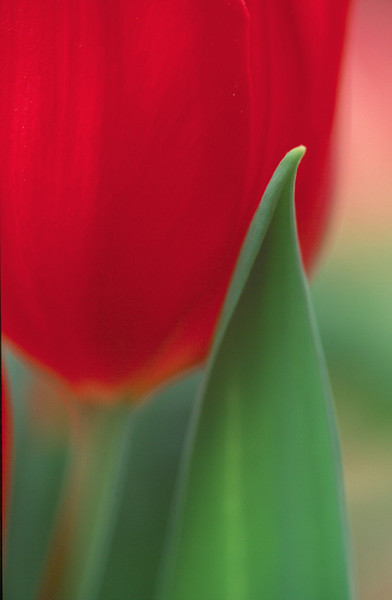 Red Tulip Vertical