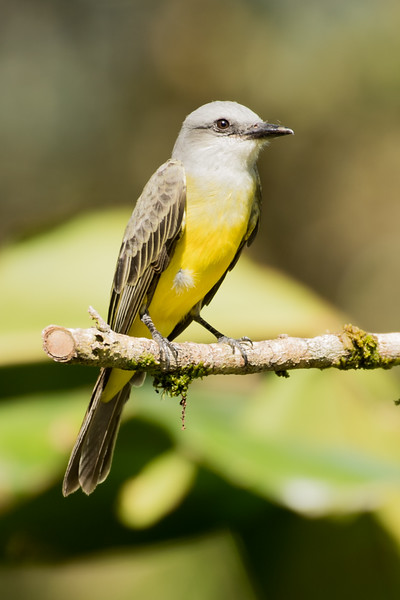 19-Sept Costa Rica Birds-1484.JPG