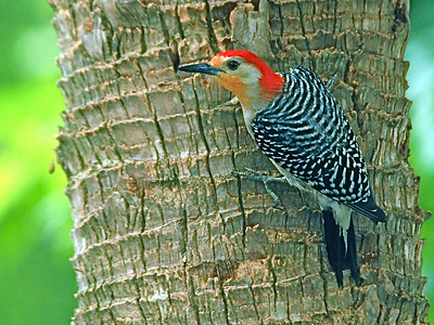 Woodpeckers and allies