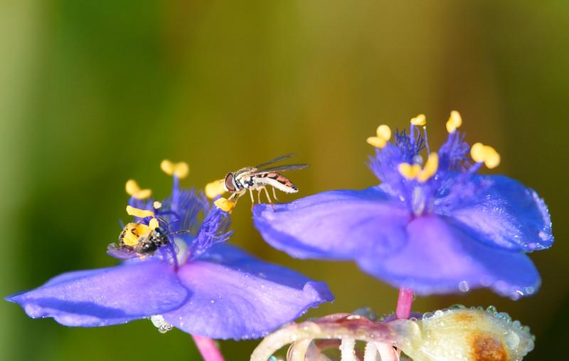 Fly-bee-tradescantia-spiderwort2-rjd.jpg