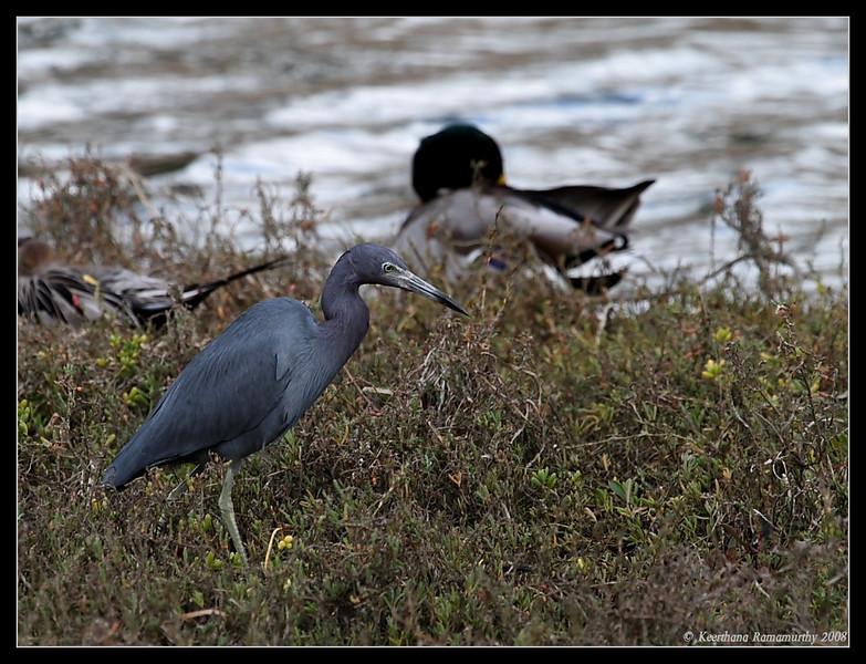 Little Blue Heron, Famosa Slough, San Diego County, California, February 2009