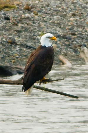 Skagit Valley Eagles