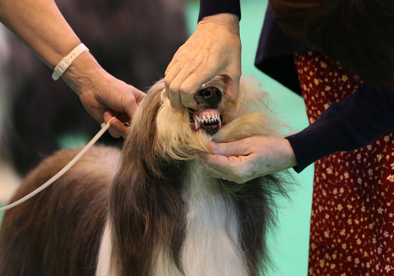 . A Bearded Collie dog is judged on the first day of Crufts dog show at the NEC on March 6, 2014 in Birmingham, England. Said to be the largest show of its kind in the world, the annual four-day event, features thousands of dogs, with competitors traveling from countries across the globe to take part. Crufts, which was first held in 1891 and sees thousands of dogs vie for the coveted title of \'Best in Show\'.  (Photo by Matt Cardy/Getty Images)
