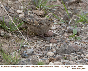 Golden-crowned Sparrow J76386.jpg
