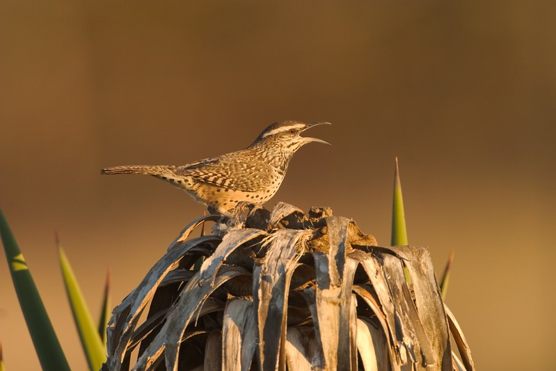 Cactus Wrens can be very vocal [April; Sick Dog Ranch near Alice, Texas]