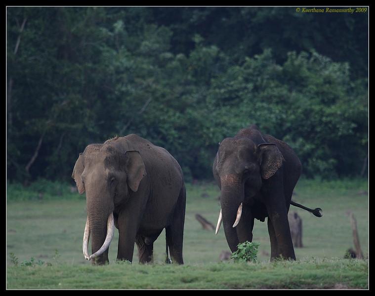 Tuskers Double treat !!,  Kabini, Mysore, Karnataka, India, June 2009