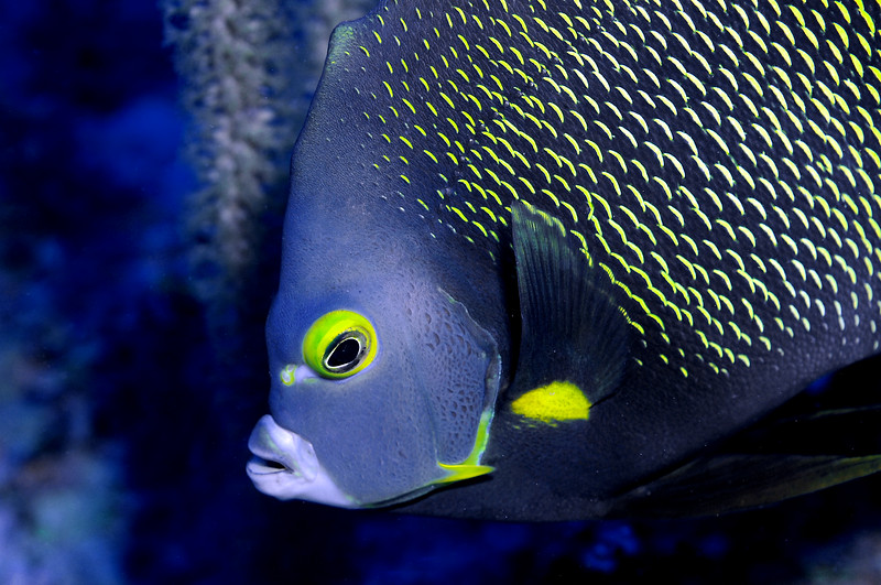 King Angelfish <br /> Bonaire