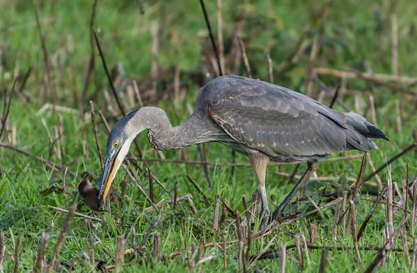 Marsh Birds in Saanich November 2015