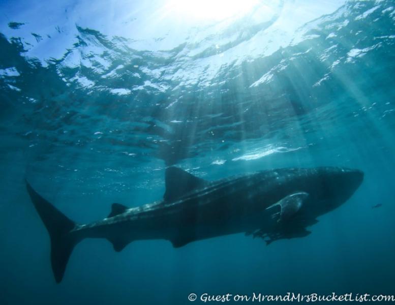 whale shark western australia wildlife.png