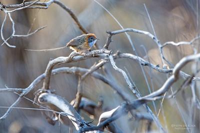 Mallee Emu-wren (Stipiturus mallee) EN