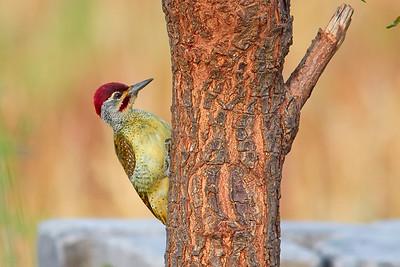 Fine-spotted woodpecker