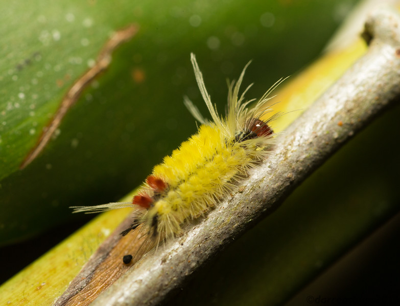 Erebid moth caterpillar, genus Lophocampa, from Belize.