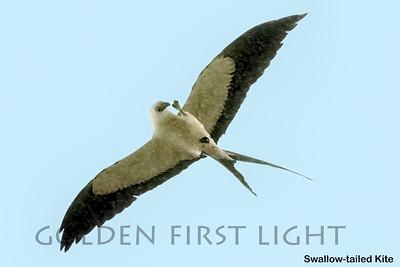 Swallow-tailed Kite,  Hotel Solar das Aguas Cantantes Ubatuba, Brazil