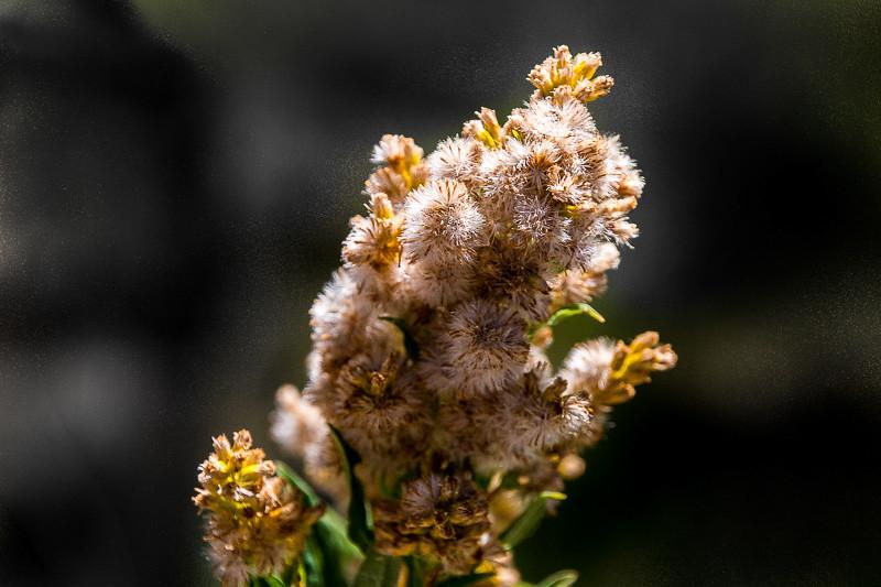 August 23 - Sierra bloom.jpg