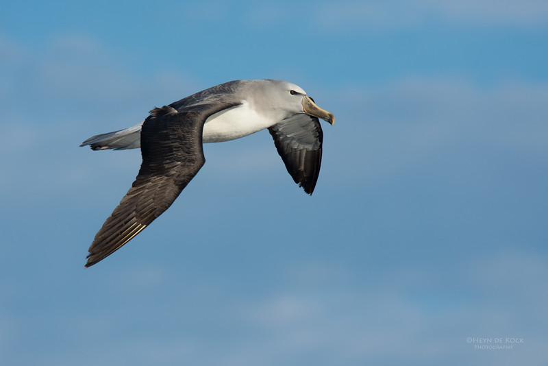 Salvin's Albatross, Eaglehawk Neck Pelagic, TAS, July 2015-1.jpg